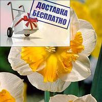 Луковичное растение Нарцисс сплит Orangery