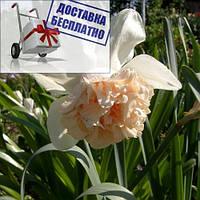 Луковичные растения Нарцисс махровый Rosy Cloud