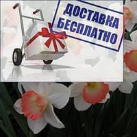 Луковичное растение Нарцисс корончатый Rosy Sinrise