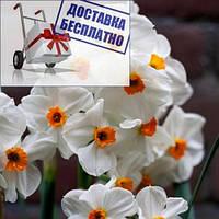 Луковичное растение Нарцисс многоцветковый Geranium
