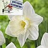 Луковичное растение Нарцисс корончатый Mount Hood