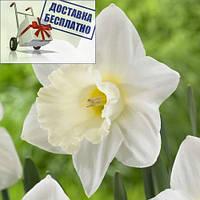 Луковичное растение Нарцисс корончатый Mount Hood, фото 1