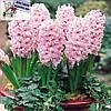 Луковичные растения Гиацинт Fondant