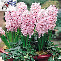 Луковичные растения Гиацинт Fondant   , фото 1