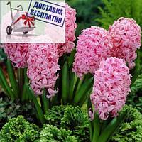 Луковичные растения Гиацинт Anna Marie