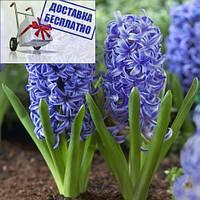 Луковичные растения Гиацинт Blue Giant