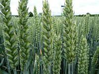 Хюлюкс озима м'яка гібридна пшениця