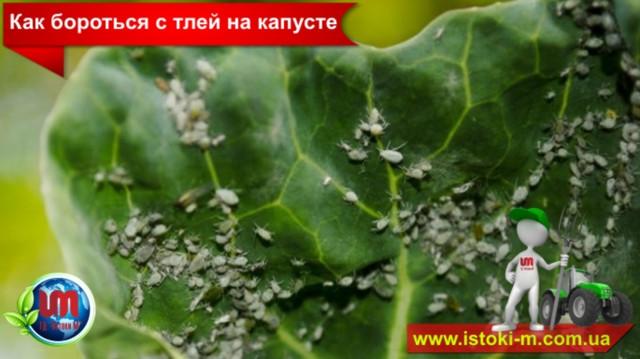 как вырастить хороший урожай капусты_органическое земледелие_удобрение для подкормки капусты_жидкое органическое удобрение для подкормки капусты