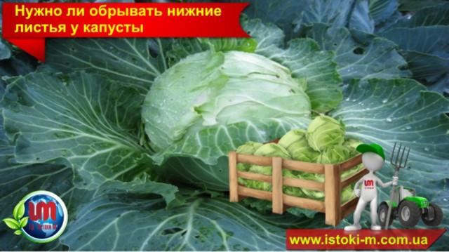 как собрать большой урожай капусты_как вырастить капусту_органическое удобрение для подкормки капусты_органическое земледелие_органическое удобрение для капусты_подкормка капусты