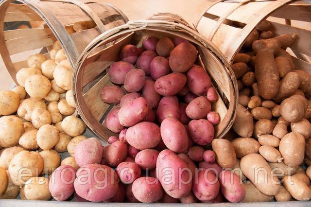Прогнозы производства картофеля