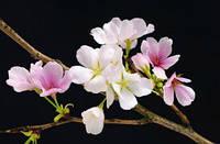 Фотообои на стену Цвет вишни, 175х115 см (уценка)