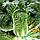Семена капусты пекинской Билко F1, 2500 семян, Bejo (Бейо), Голландия, фото 2