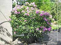 Рододендрон Гибридум