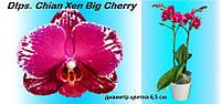 Подростки орхидеи, возраст цветения. Сорт Big cherry