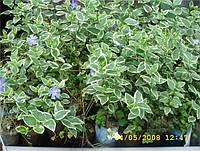 Барвинок малый пёстролистный (Vinca minor f. argenteo-variegata)
