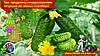 Как продлить плодоношение огурцов до конца сентября