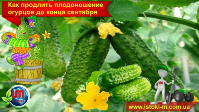 подкормка огурцов_органическое удобрение для подкормки огурцов_органическое земледелие