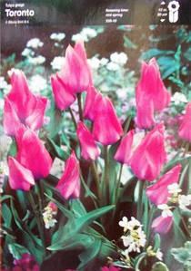 Тюльпан багатоквітковий Toronto