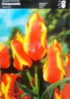 Тюльпан багатоквітковий Compostella