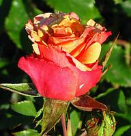 Роза «Чери Бренди». Чайно-гибридная роза.