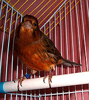 Краснодеревый кенар - поющий, фото 1
