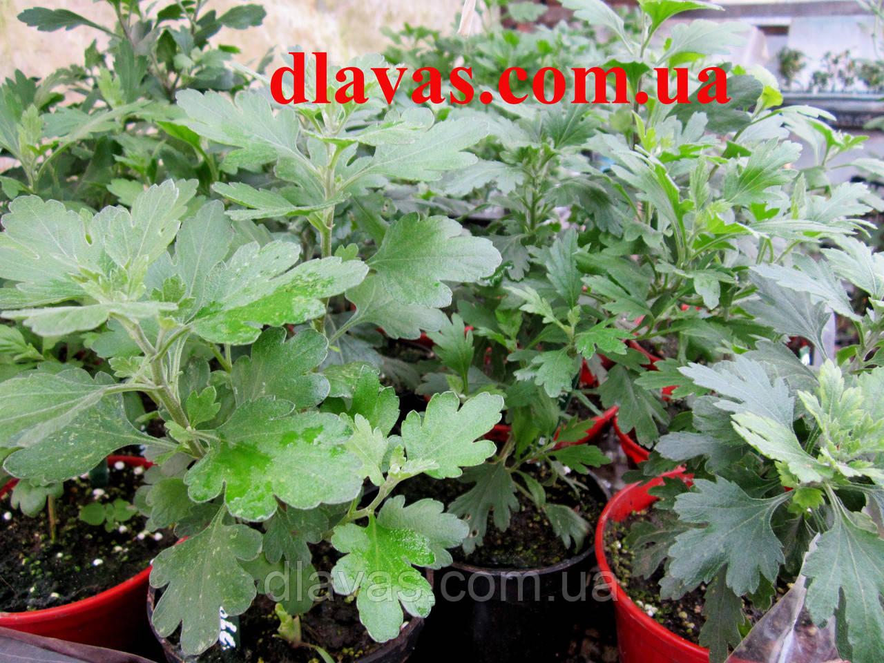 Хризантема шарообразная смесь (1кустик)
