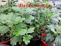 Хризантема шарообразная смесь (1кустик), фото 1