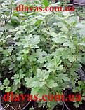 Хризантема мультифлора Маскулино оранж, фото 5