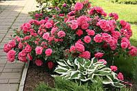 Роза почвопокровная или плетистая Розариум Ютерзен (Rosarium Uetersen), фото 1
