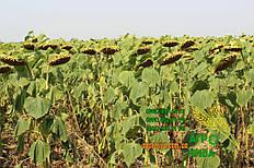 70 гектаров подсолнечника Белла Euralis (август 2017) 4