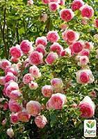 """Роза плетистая """"Eden Rose"""" (саженец класса АА+) высший сорт"""