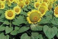 Семена подсолнечника ІН 5543 ІМІ Clearfield