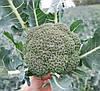 Капуста Корос F1 Clause 2500 семян