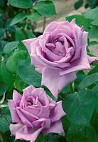 Саженцы роз Блу Леди (Сиреневая)