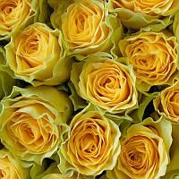"""Сорт розы""""Илиос"""" (желтая роза чайно-гибридная)"""