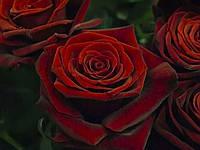 """Сорт розы""""Гран При"""" (красно-бордовая роза чайно-гибридная,  красно-бордовая)"""