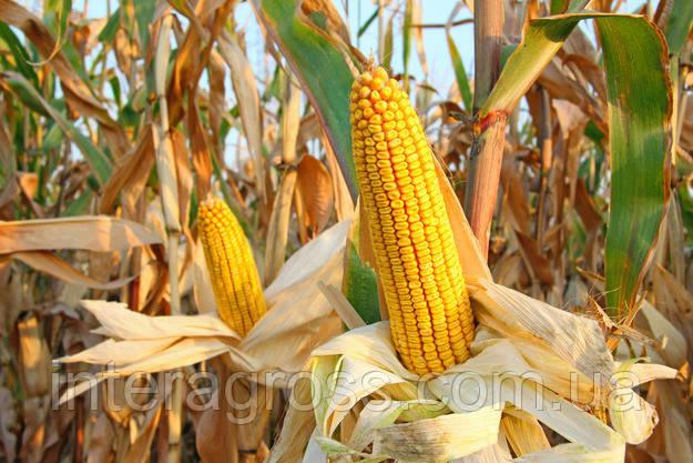 Купить Семена кукурузы ЛГ 30288