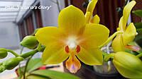 Подростки орхидеи, возраст цветения. Сорт Viktoria glory
