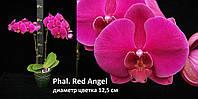 Подростки орхидеи, возраст цветения. Сорт Red angel
