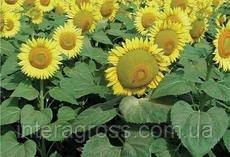 Купить семена подсолнечника НСХ 496 Еліт (Нертус)
