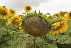 Семена подсолнечника НСХ 498