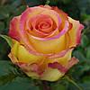 """Роза  чайно-гибридная """"Амбианс"""""""