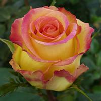 """Роза  чайно-гибридная """"Амбианс"""", фото 1"""