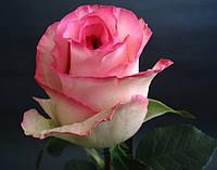 """Роза чайно-гибридная """"Белла Вита"""", фото 1"""