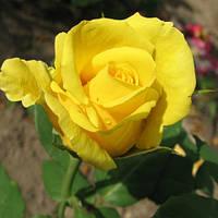 """Роза чайно-гибридная """"Голден Медальон"""", фото 1"""