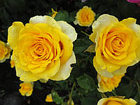 """Роза чайно-гибридная """"Иллиос"""", фото 1"""