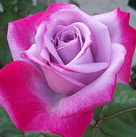 """Роза чайно-гибридная """"Парадиз"""", фото 1"""