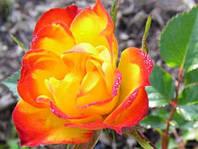 """Роза миниатюрная """"Колибри"""" , фото 1"""