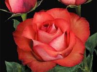 """Сорт розы""""Игуана"""" (биколор, коралловая роза чайно-гибридная)"""