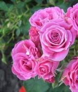 "Роза миниатюрная ""Лавендер Джавел"", фото 1"
